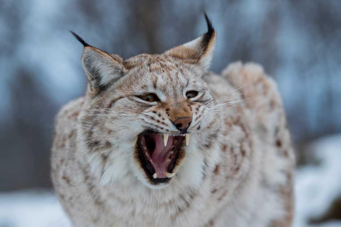Jägareförbundet i Dalarna överklagar länsstyrelsens beslut om hur många lodjur som får fällas i årets jakt. Arkivbild.