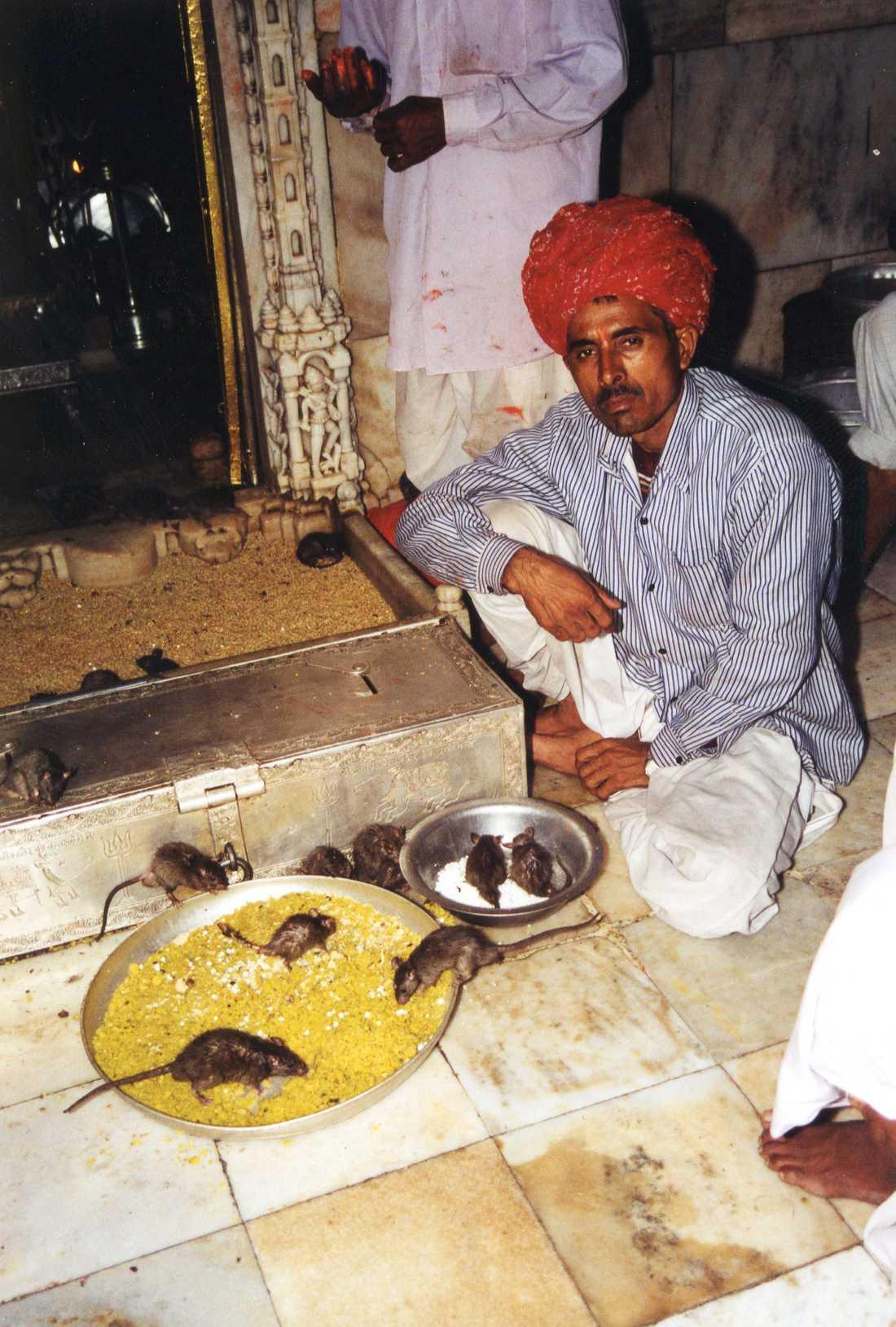 Gudinnans råttor i templet i Rajastan i Indien är flera tusen, som matas, tillbedjs och gullas med.