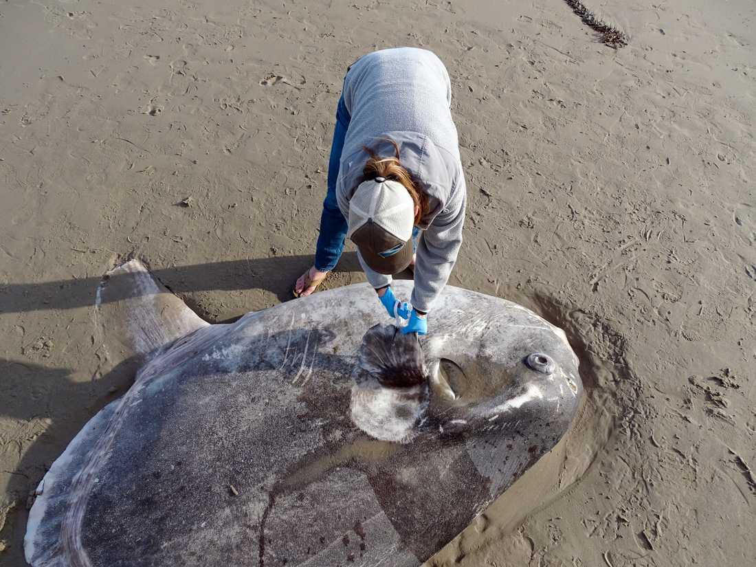 I februari hittades en annan typ av klumpfisk (Mola tecta) på en strand i Kalifornien, USA. Arkivbild.