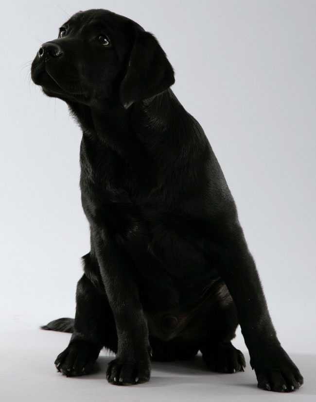 Haddock är en tvåårig Labrador Retriever som fortfarande väldigt valpig och lekfull. På dagarna går han på dagis och älskar att leka med andra hundkompisar där! Sara Nordén, Trollhättan, är ägare.