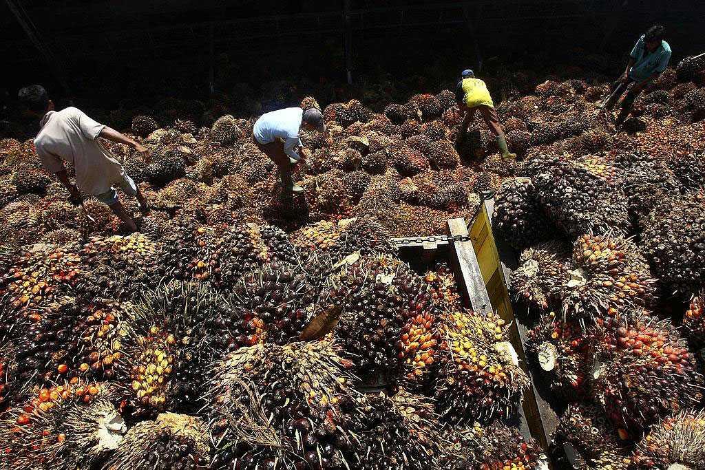 Sortering av palmfrukter i Indonesien.