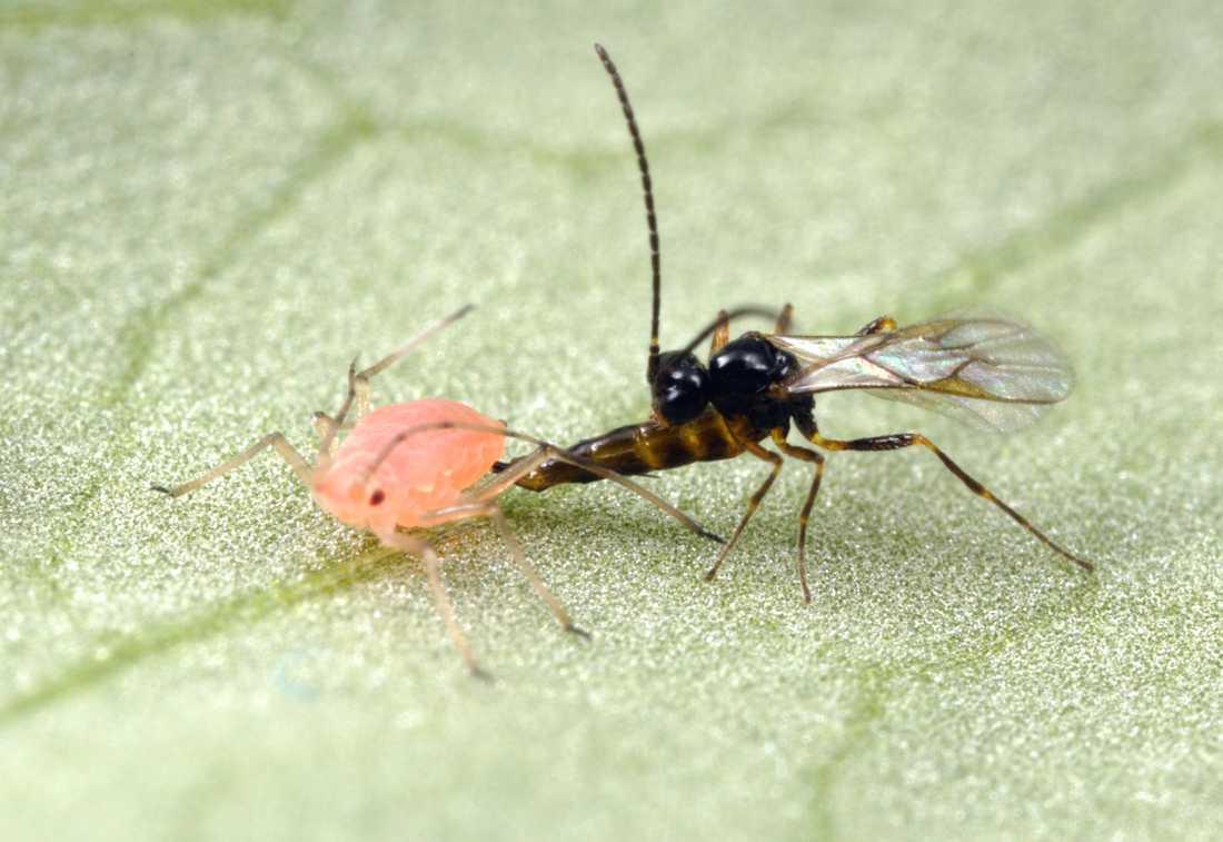 En parasitstekel lägger ägg i en bladlus med äggläggningsröret. Dess larver kommer att utnyttja den levande bladlusen som en födokälla och äta upp den inifrån.
