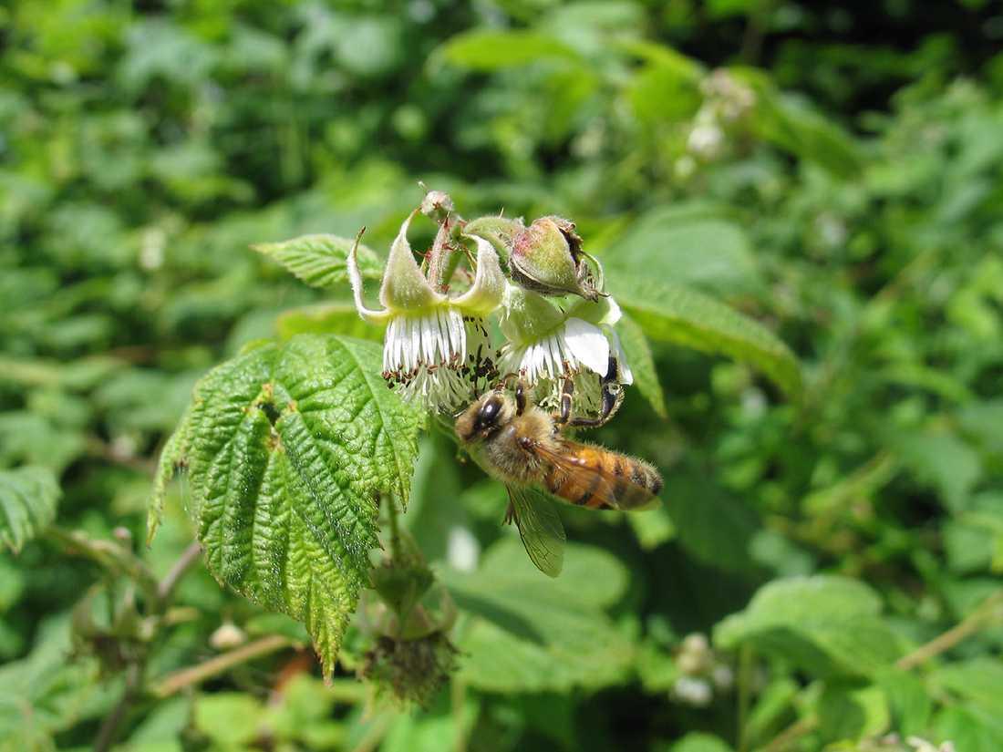 Ett bi samlar nektar från en vildhallonblomma.