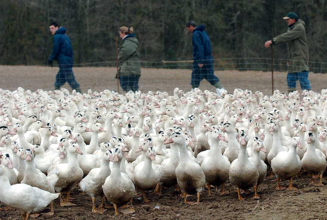 Edward Blom har besökt en ankfarm i Frankrike.