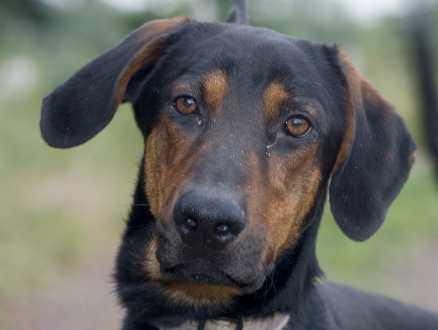 6. Rambo, schäfer/dobermann, hane, 1,5 år. Sonen i Rambos familj blev allergisk mot hundar. Rambo med sin viljestarka personlighet skulle passa bra som arbetshund. doberman@algonet.se