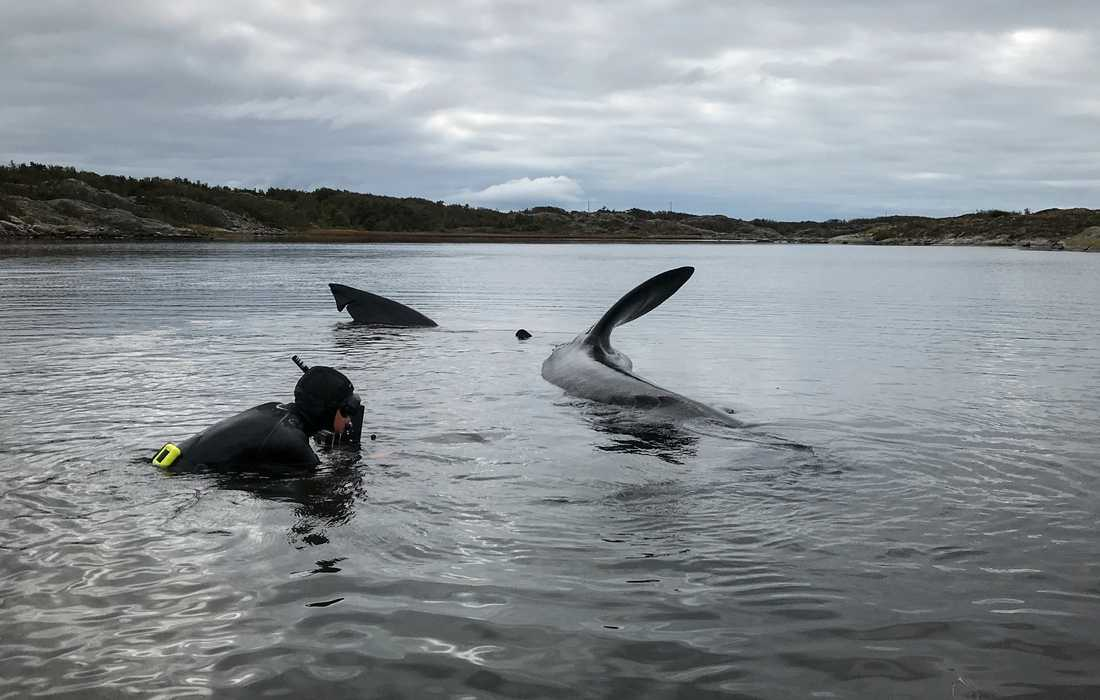 Med gemensamma ansträngningar lyckades lokalbefolkningen tillsammans kustbevakningen och två marinbiologer rädda den strandade brugden.