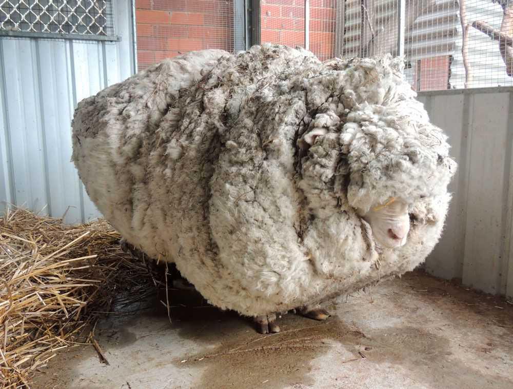 Chris, världens ulligaste får.