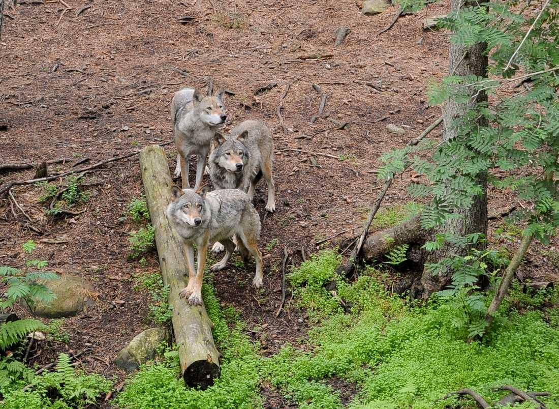 Vargarna ska bort från Kolmårdens djurpark. Arkivbild.