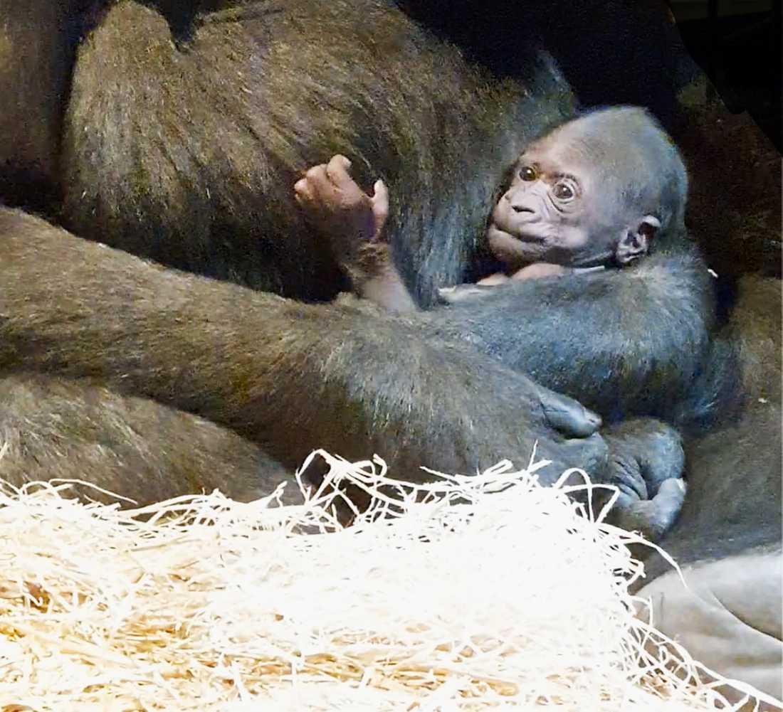 Gorillaungen är den tredje gorillan som fötts i Sverige.