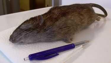 Råttan väger 580 gram - och är hela 46 centimeter lång.