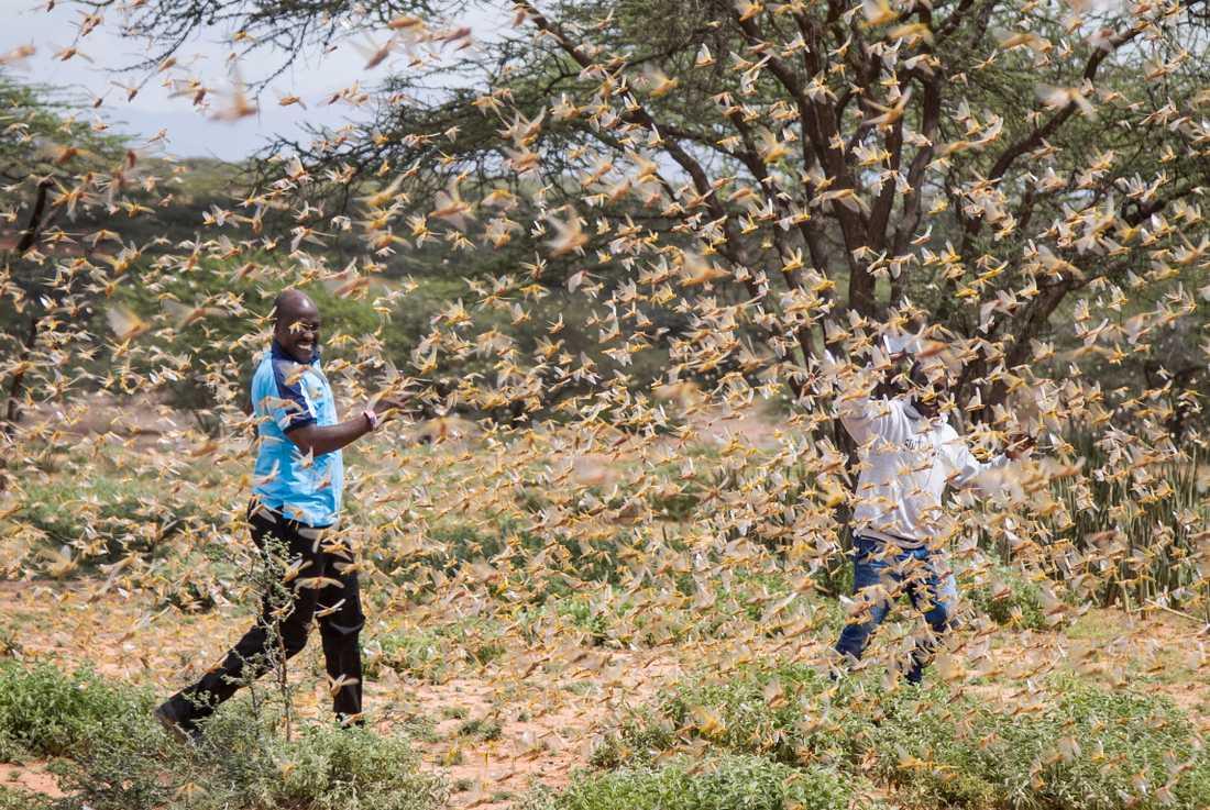 Två män som är omgivna av en svärm av gräshoppor i Samburu, Kenya.
