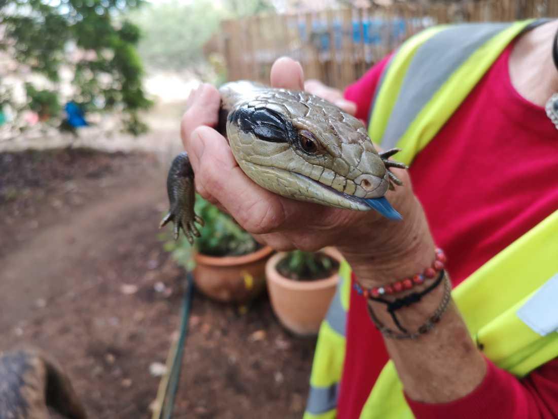Den blåtungade ödlan hos Inga Schwaiger, djurräddare inom Wires, på hennes tomt i Balmoral där hon vårdar skadade djur.