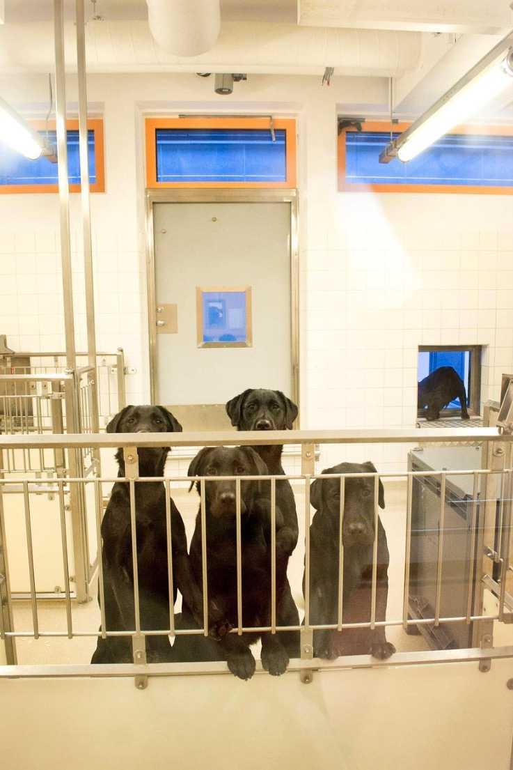 Labradorer med tandimplantat på Göteborgs universitet. Hundarna på bilden lever inte längre. Bilden är från 2012, och publicerades första gången i ett reportage i Göteborgs universitets studentkårs tidning Spionen.