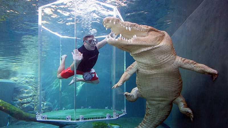 Bara en glasvägg skiljer badaren från de biffiga krokodilerna.