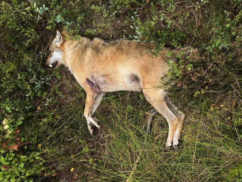 Vargen misstogs för en räv, och sköts ihjäl av en jägare i Skåne i augusti 2018. Arkivbild.