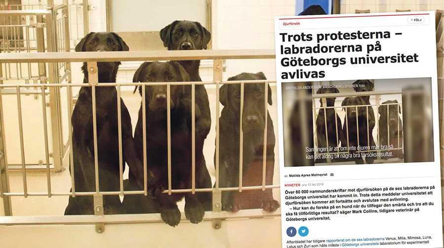 Det verkar finnas en uppfattning om att hundarna bor som på en djurklinik där de blir behandlade, undersökta och utsatta för ingrepp varje dag. Så är inte fallet, skriver personalen på försöksdjursverksamheten vid Sahlgrenska akademin.