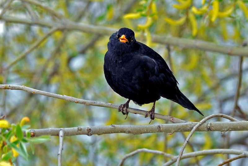 Ett fågelvirus som drabbat koltrastar på kontinenten har upptäckts på Öland.