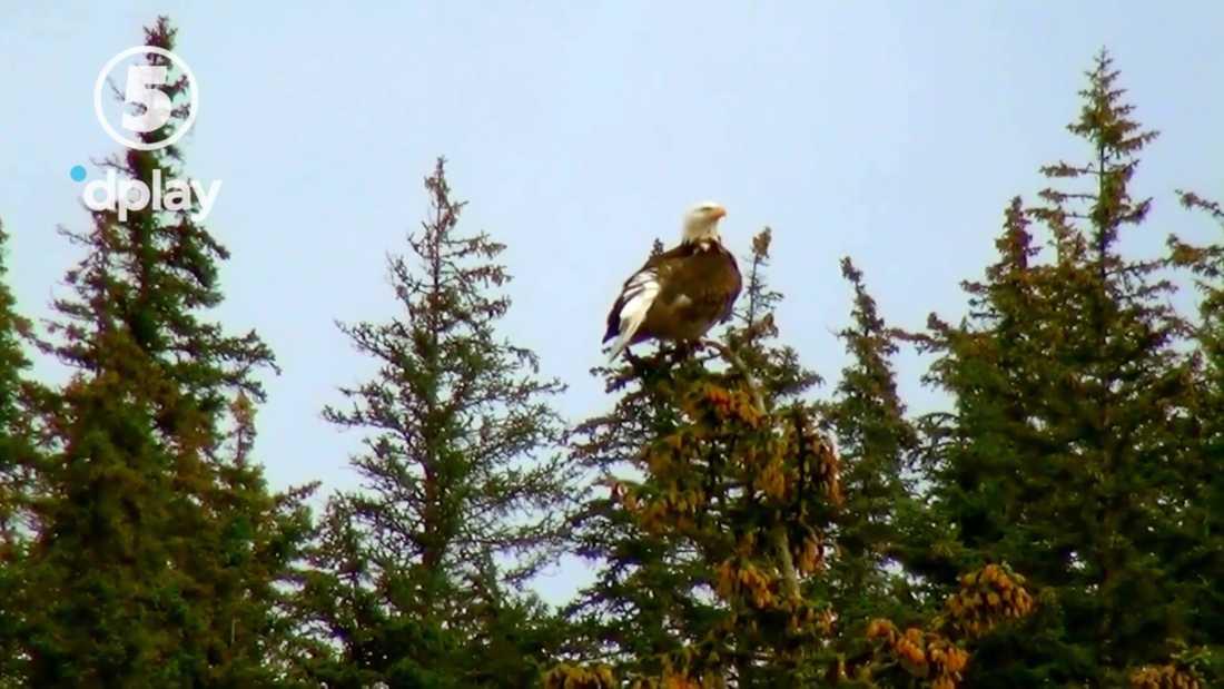 """Bluffen. Den vithövdade havsörnen dyker upp i """"Bergs drömkåk"""". Men den fridlysta amerikanska fågeln har aldrig någonsin skådats i Sverige."""