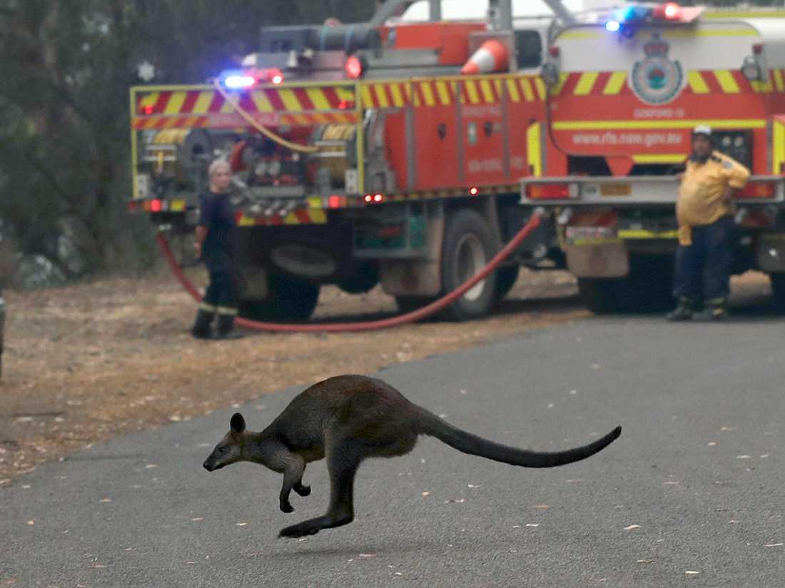 En wallaby passerar förbi två brandbilar vid en väg norr om Sydney.
