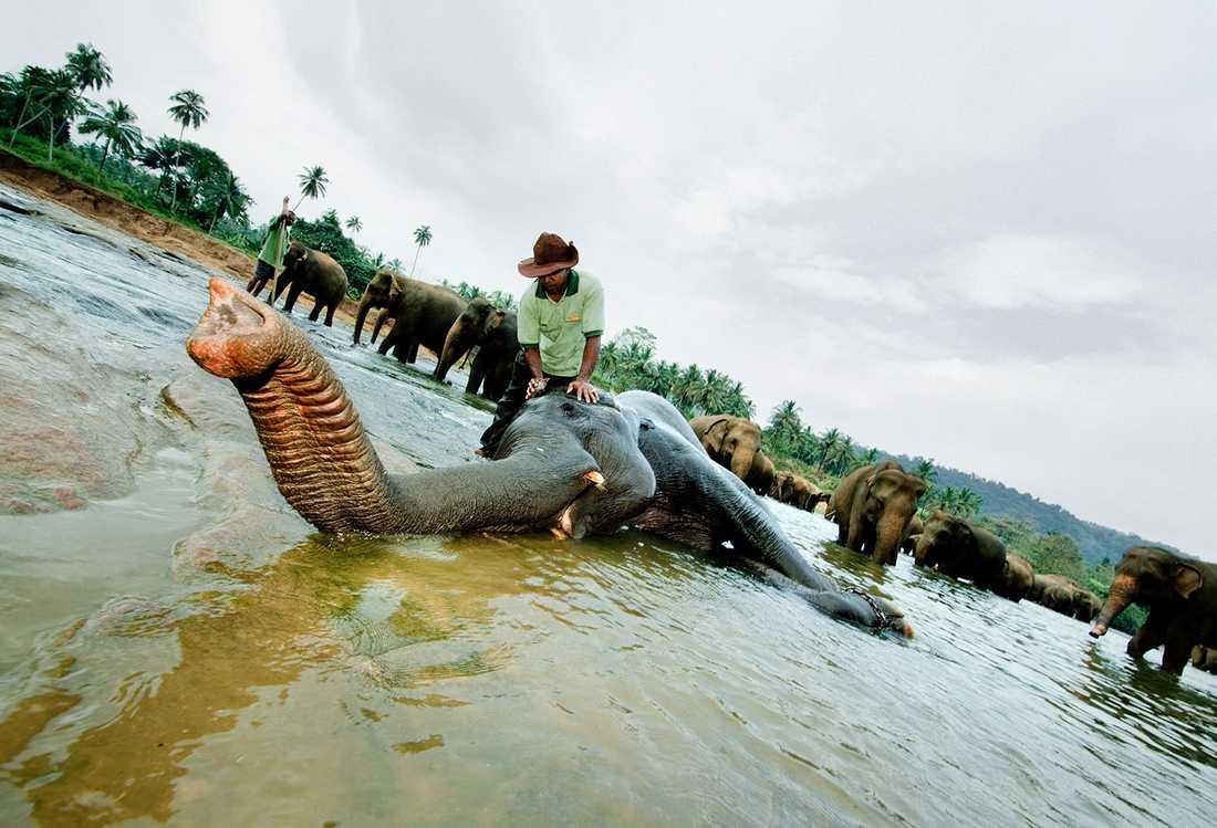 Elefanter får spabehandling på Pinnawela Elephant Orphanage i Sri Lanka.
