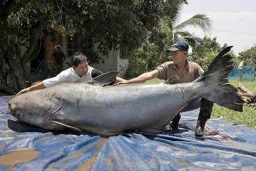 293 kilo jättefisk Ett par thailändare visar upp rekordfisken. Det är en jättemal från Mekongfloden i Thailand. Tråkigt är att fisken är utrotningshotad och det är bara att hoppas att de släppte tillbaka fisken i vattnet efter fotograferingen.
