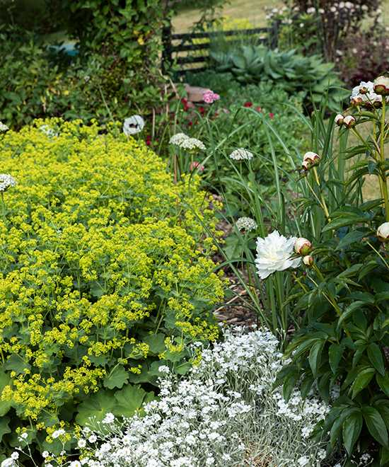 Daggkåpa och silverarv är två lätt - skötta växter, som gärna brer ut sig över stora ytor. Här har de fått sällskap av en vit pion.