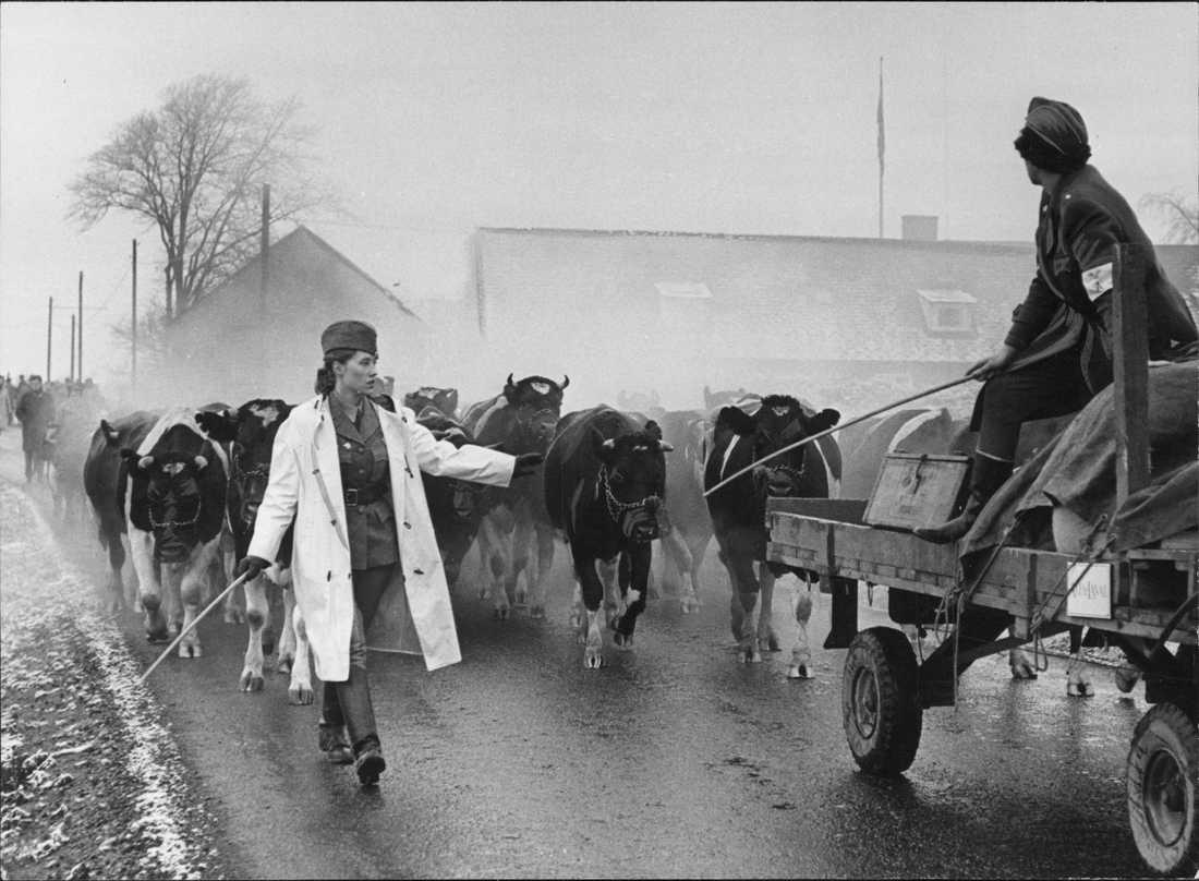 Bild från Operation utrymning 1962. En karavan med kor leds av en kvinna från Svenska Blå stjärnan.