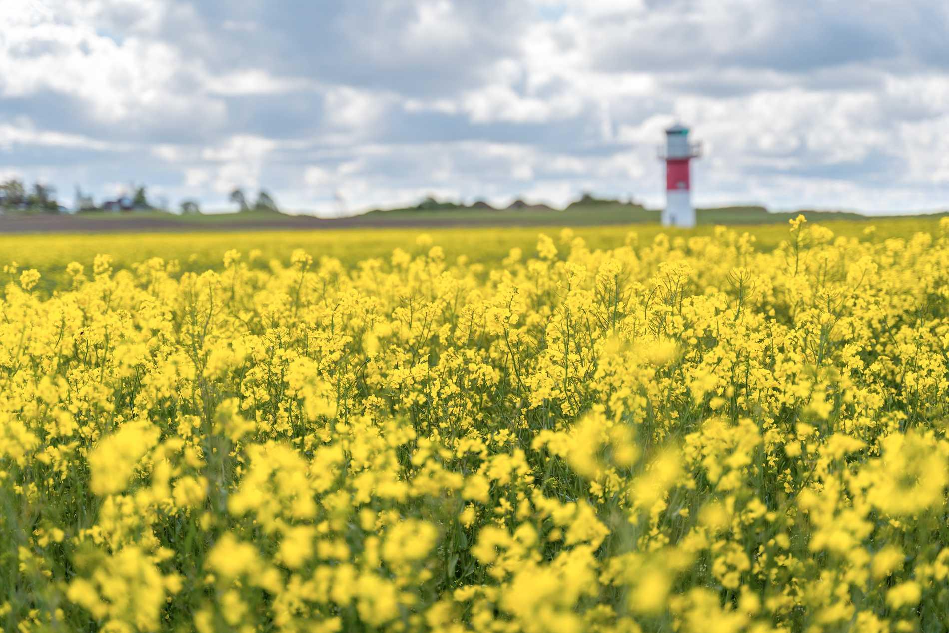Rapsen blommar över stora delar av Skåne