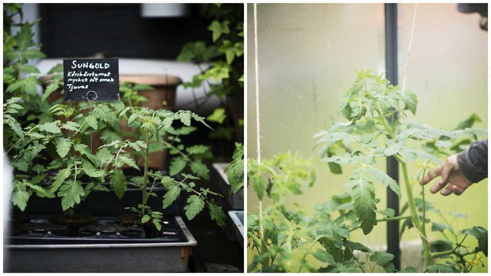 Håll koll på dina tomatplantor. Vattna och tjuva,