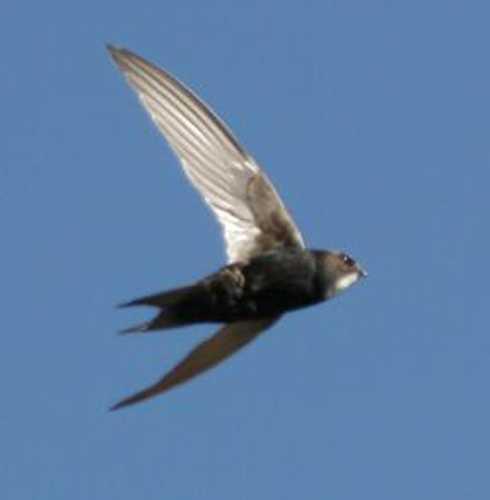 En kafferfågel seglar genom luften - tillsynes oberörd att den tvingas byta namn