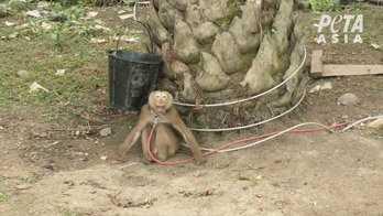 Under långa perioder har de suttit fastkedjade, utan möjlighet att träffa andra apor eller göra andra typer av aktiviteter som är viktiga för apor, skriver Peta.