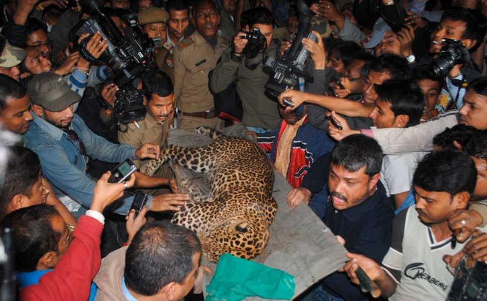 Sövdes Leoparden är nu förd till ett lokalt zoo.