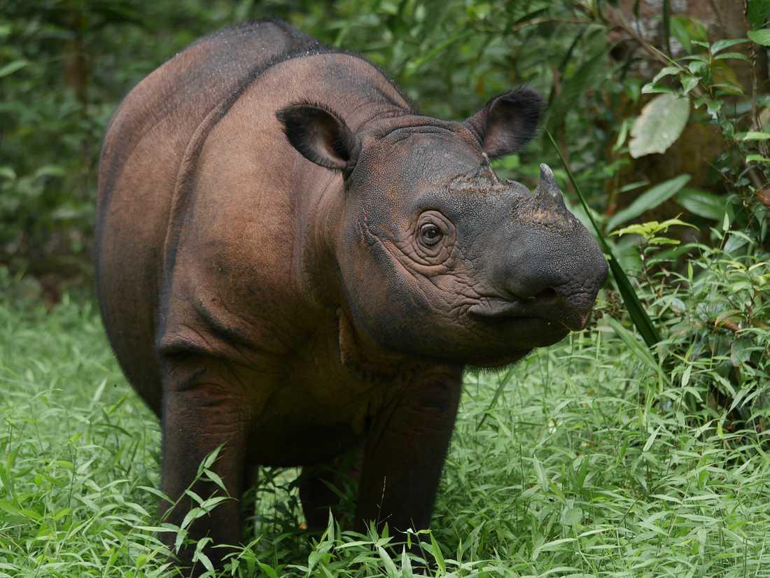 Sumatranoshörningen är i princip utrotad. I hela världen finns endast ett 80-tal djur i det fria.