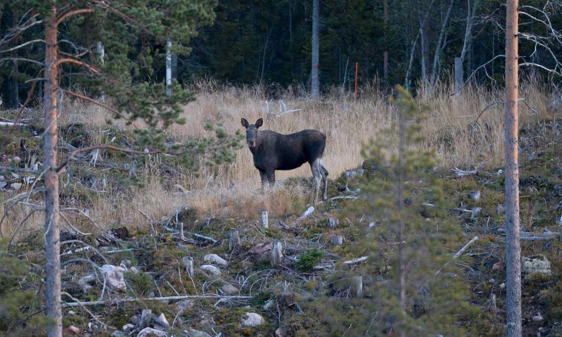 Skogsskador orsakade av älg och andra hjortdjur är fortsatt på en för hög nivå, meddelar Skogsstyrelsen. Genrebild.