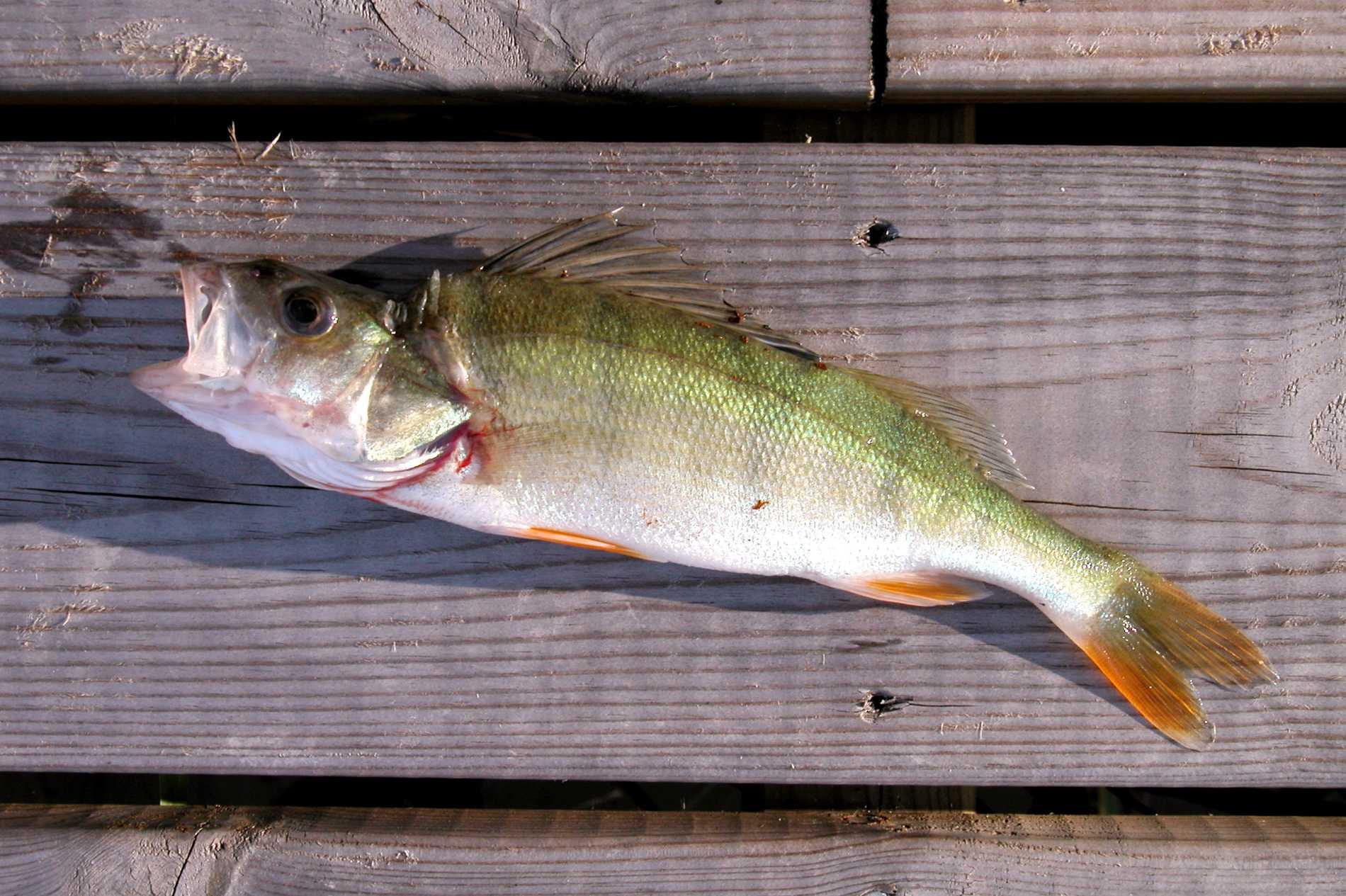 Abborren lever i sötvatten och brackvatten i hela Sverige.