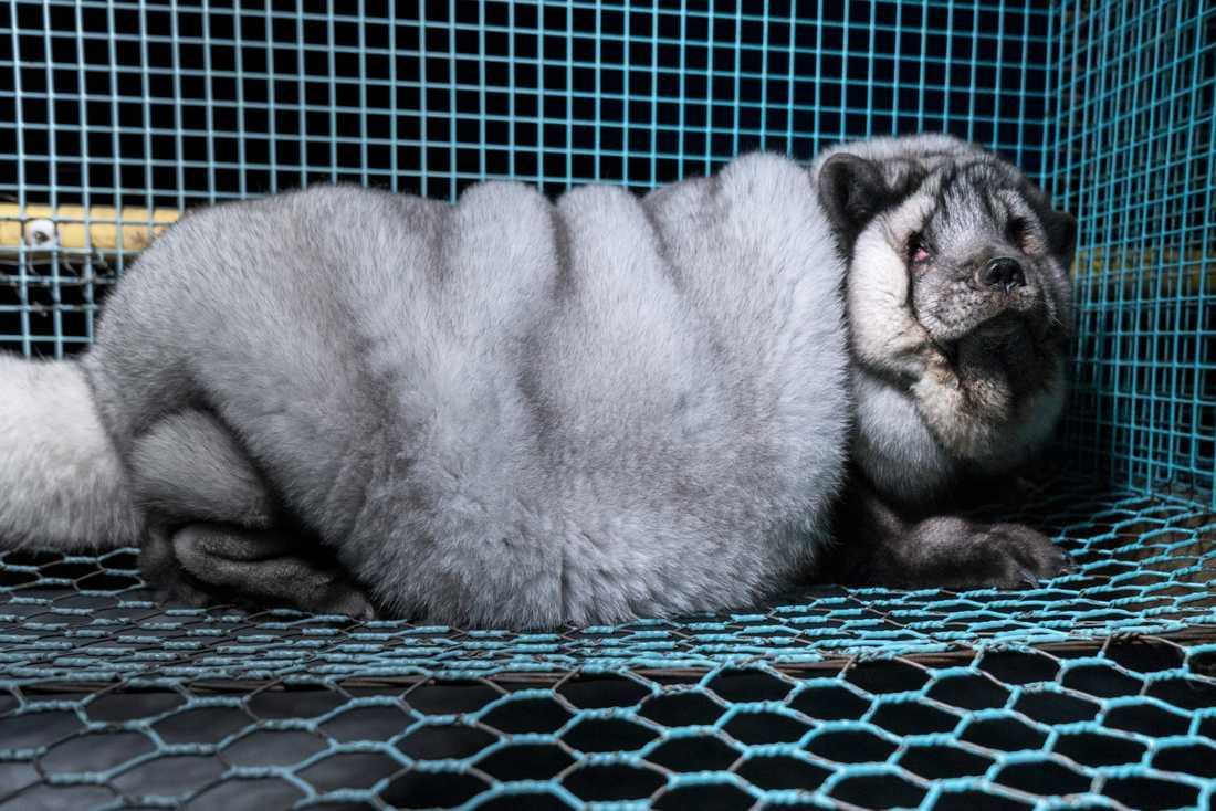 Den finländska djurrättsorganisationen Oikeutta eläimille har smygfilmat jätterävar på farmer.