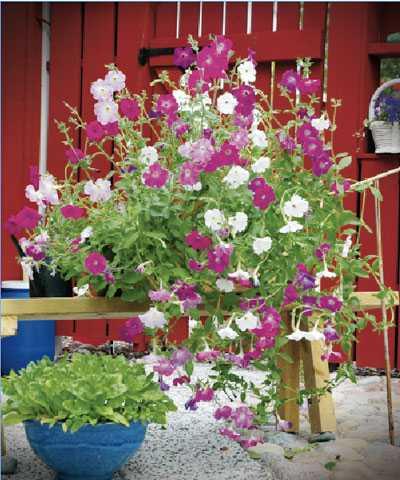 Doftpetunia 'Old Fashioned Vining' (Petunia hybrida multiflora).