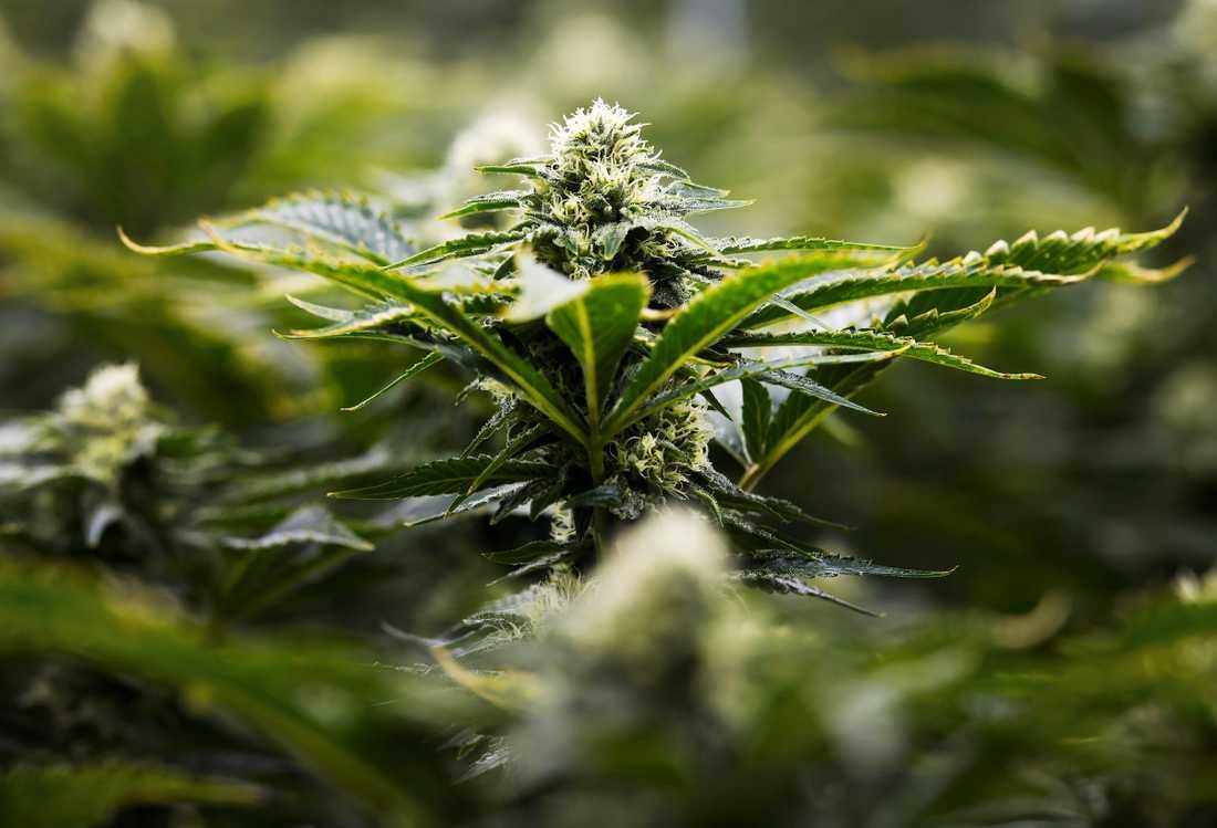 Marijuanaplanta.