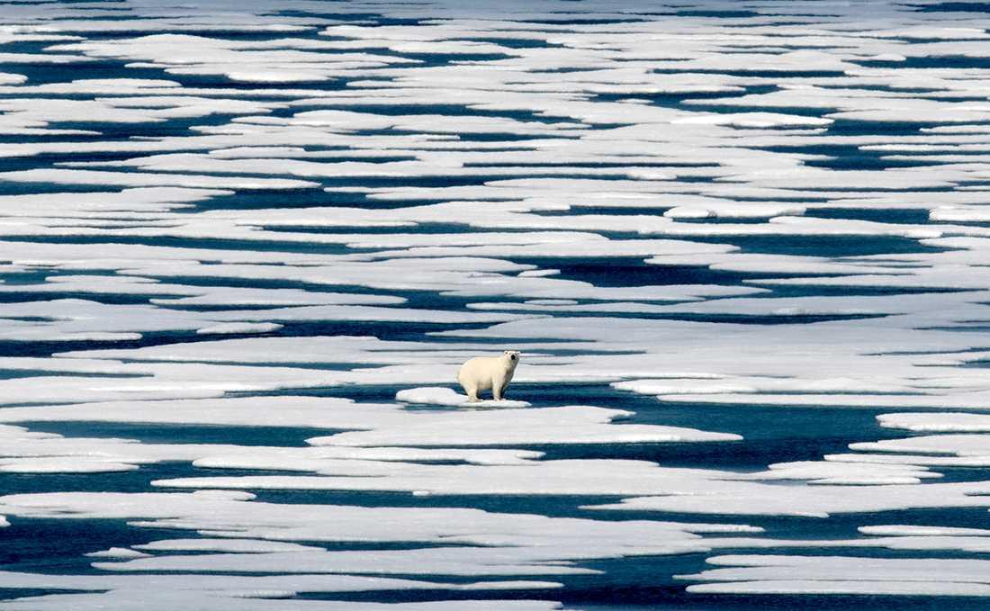 En isbjörn.