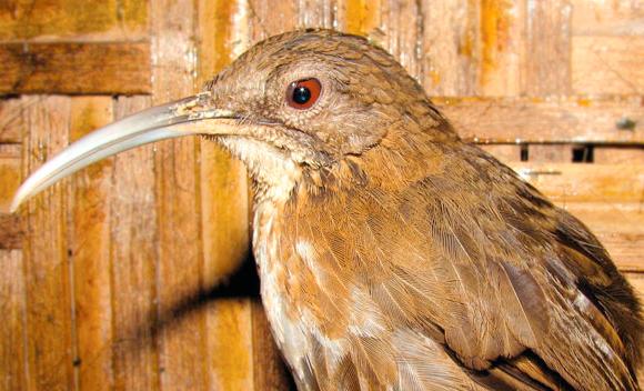 Snackglada fågeln Fågeln med den skruvade näbben upptäcktes i Vietnamn 2004 och är känd för att var pratsam. Är en av två fågelarter som hittats under tioårsperioden.