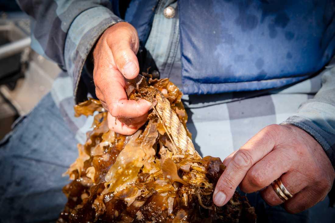 Fredrik Gröndahl, forskare i vatten och miljöteknik vid KTH, visar hur sockertång har planterats på tunna rep. Odlingarna placeras ut på hösten och skördas på vårkanten innan vattnet blivit för varmt.