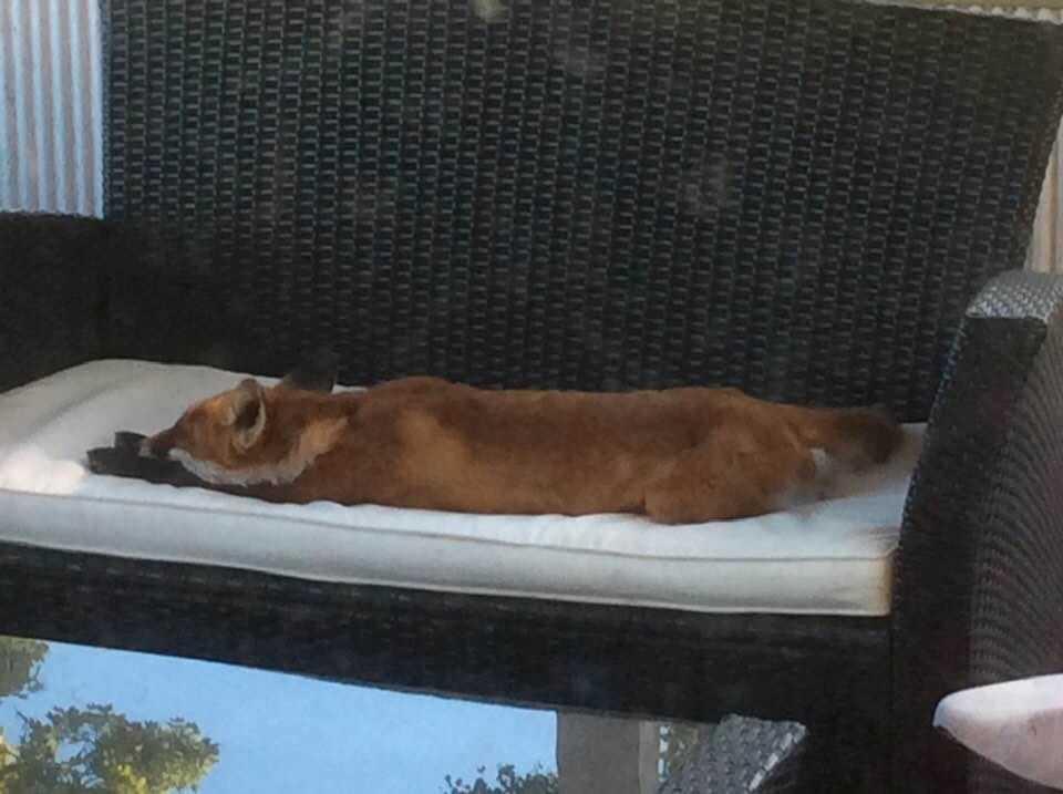 """Räven sträckte ut sig på Anttis veranda: """"Han vilar säkert upp sig här efter nattens bravader. Sen ska han väl ut på turné igen."""""""