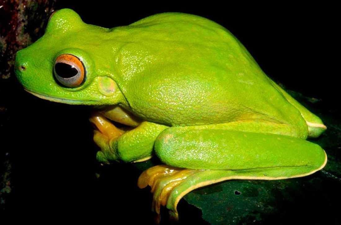 Grodor i lysande färger och med vampyrliknande tänder finns i Nya Guinea.