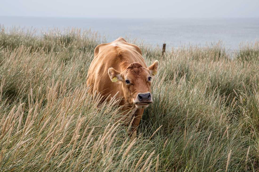 Ko betar på strandäng.