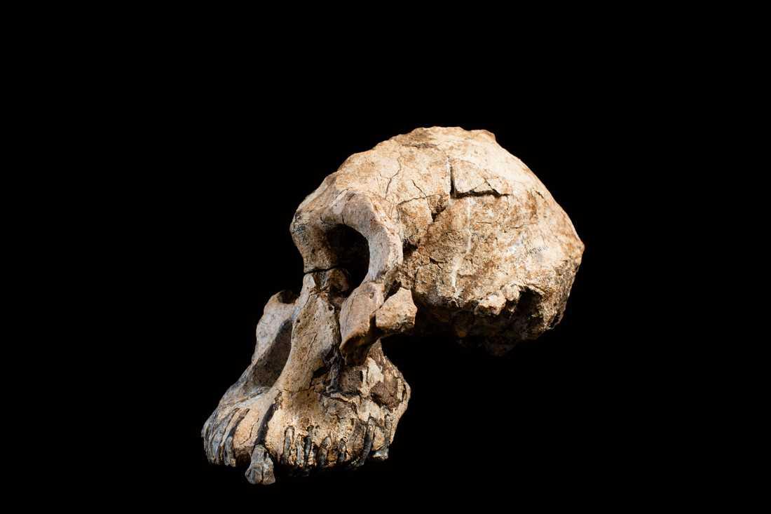 Den 3,8 miljoner år gamla skallen av Australopithecus anamensis hittades bara 55 kilometer från där man 1974 hittade Lucy, som dock tillhörde en annan art: Australopithecus afarensis.
