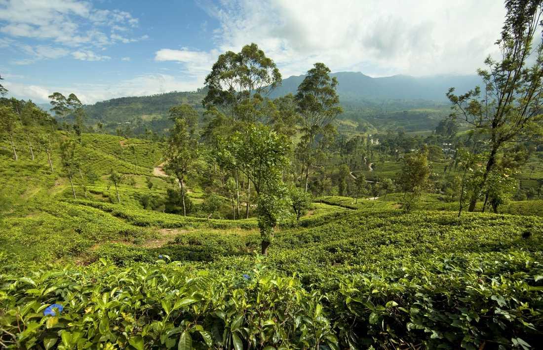 Mil efter mil efter mil av majestätiska tebuskar i prydliga terassrader. I det koloniala inlandet, som runt staden Nuwara Eliya, är det lätt att förstå att engelsmän och skottar haft sina andra hem sedan generationer. Här är klimatet mer brittiskt än tropiskt. Det är fuktigt – och det är svalt. Som gjort för en kopp värmande te …