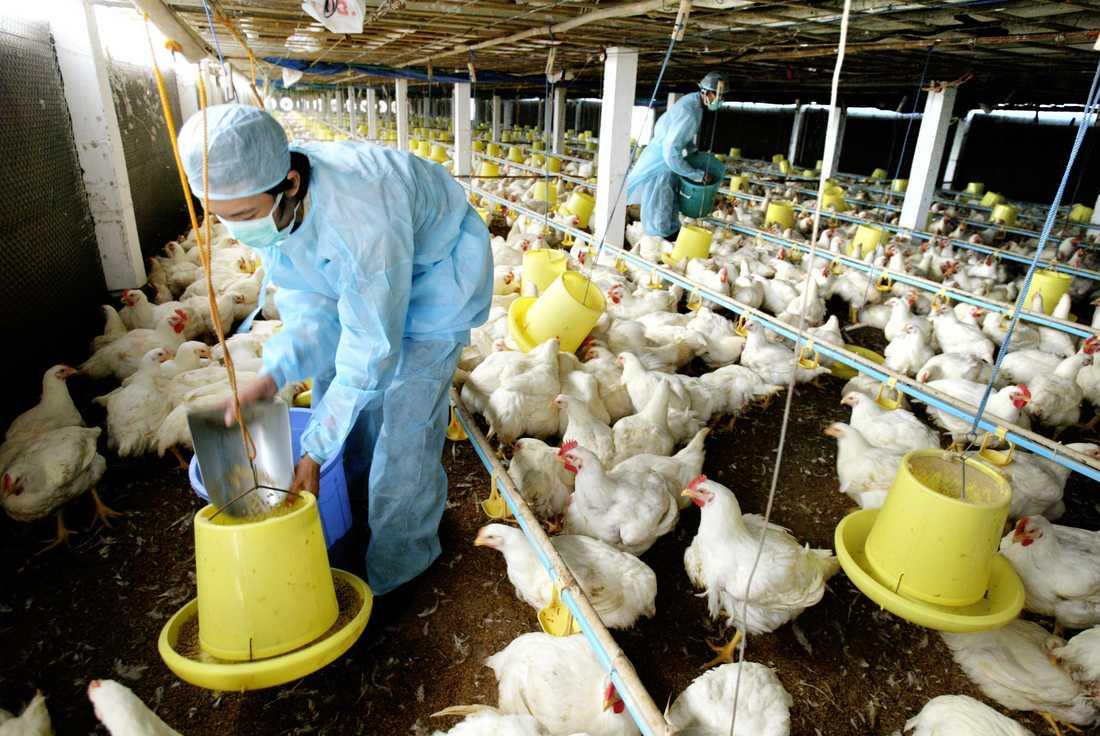 Var är alla djuren? Miljontals kycklingar slaktas varje år i Sverige. Här sker utfodring på en farm i Ho Chi Mihn, Vietnam. Foto: AP