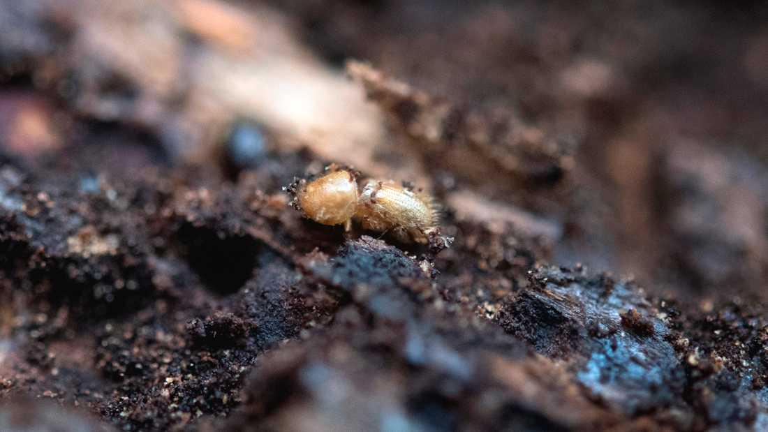 Granbarkborren skadade cirka sju miljoner kubikmeter skog 2019, till ett värde av cirka tre miljarder kronor. Men årets sommar har varit mindre gynnsam för borrarna. Samtidigt samlar Skogsstyrelsen mera kunskap om de små skadeinsekterna.