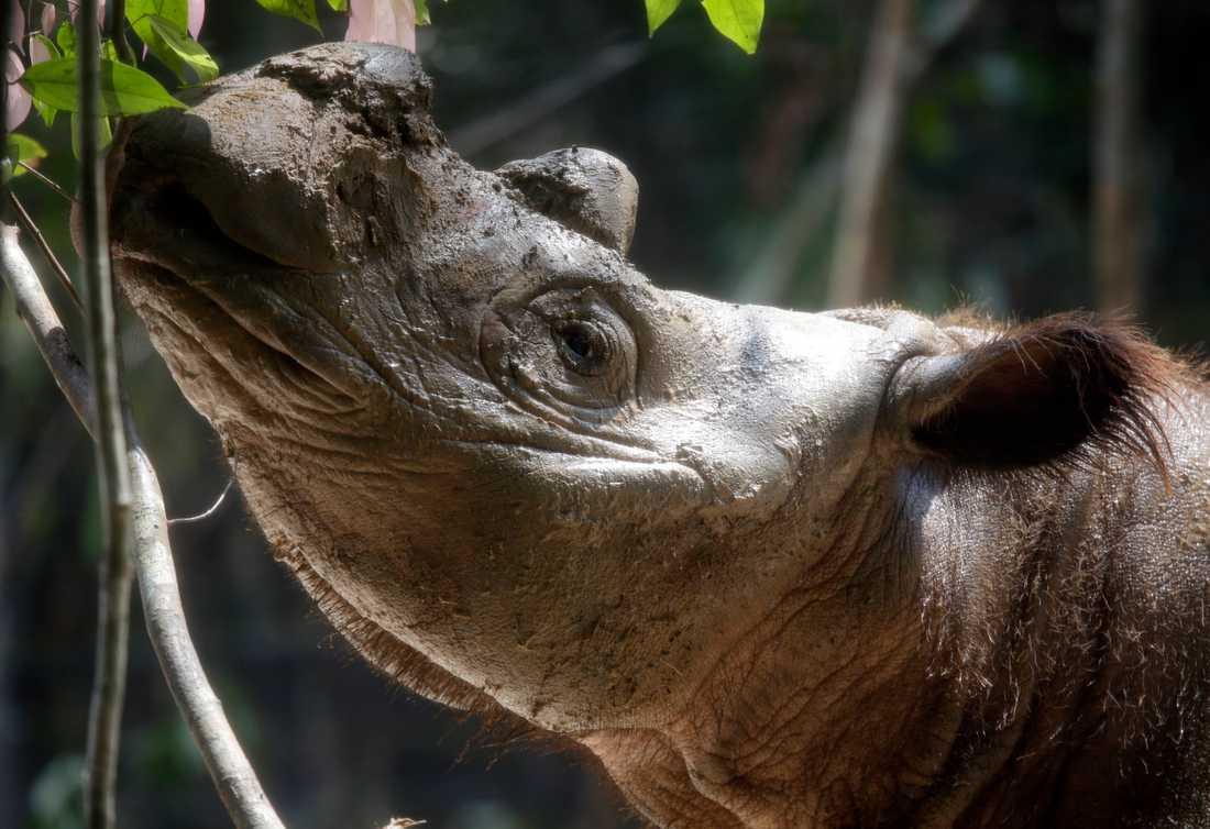 En sumatranoshörning, världens minsta noshörning. Arkivbild.