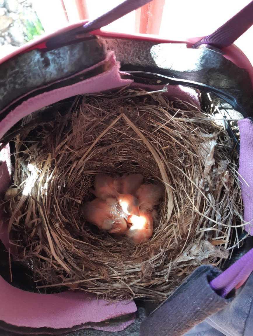 Fem små fågelungar kläcktes i Elinas cykelhjälm.